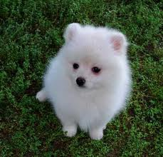 Beautiful male and female pomeranian puppies for x-mas