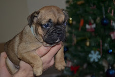 Cute and Loving French Bull Dog Puppies for Adoption