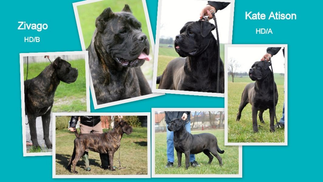 Cane corso – puppies with pedigree