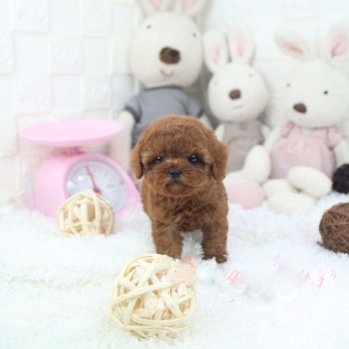 Teacup poodle puppies ready for their new homes.