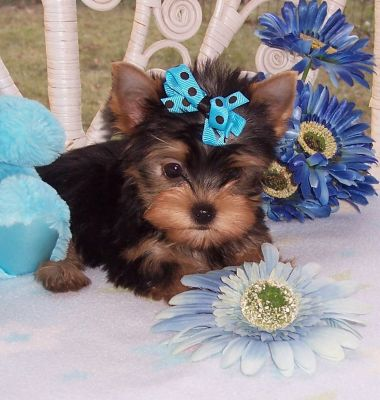 Delighted Tea Cup Yorkie Puppies (701) 660-4175