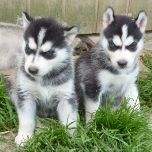 Male and Female Siberian Husky Puppies for sale contct for more info {stephenjame12@gmail.com}