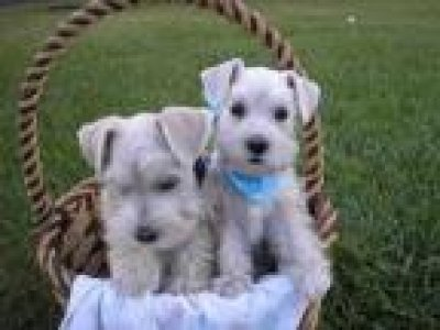 Lovely Male and Female Miniature Schnauzer Puppies