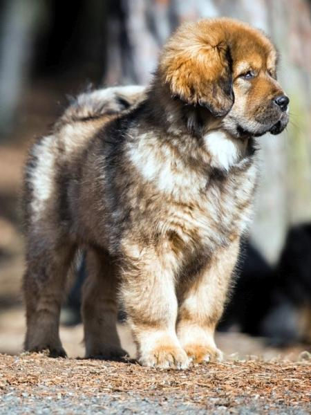 Tibetan Mastiff with pedigree