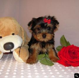 Male and female adorable teacup yorkies puppies for adoption
