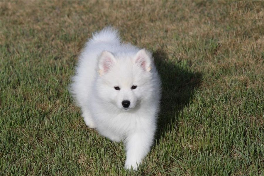 American Eskimo pups for Rehoming