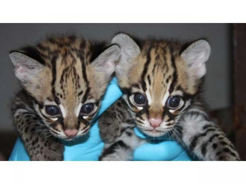 Caracal and Ocelot kittens for sale