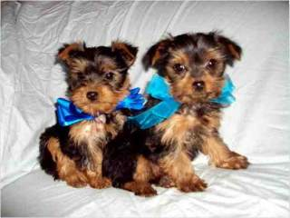Free Male And Female Teacup Yorkie Puppies For Free Adoption