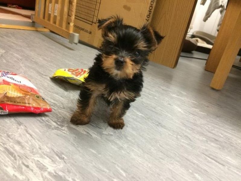 Sired Champion Yorkie's Puppies For Sale .