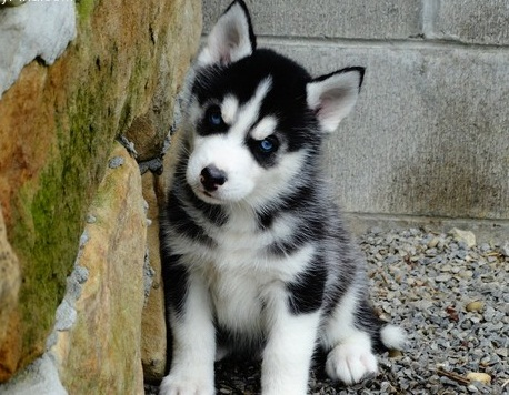 Cute and Charming Siberian Husky Now Available