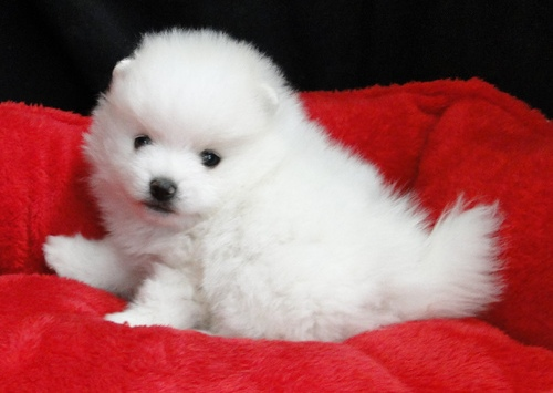 Little White Pomeranian Puppies