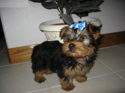 TeaCup Yorkie puppies for Loving Homes