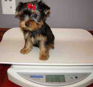 2 Adorable Yorkie puppies For Adoption.