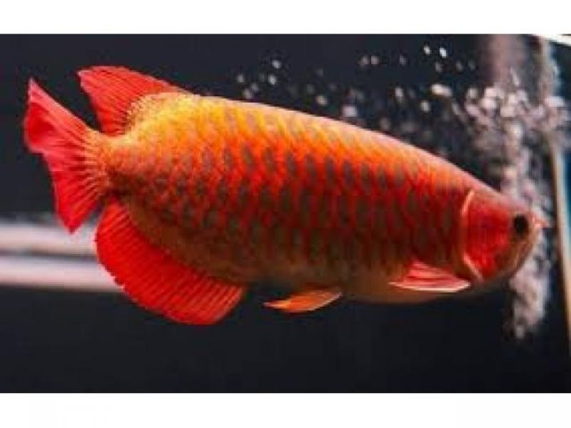 Super Red , Asian Red , Chili Red Arowana Fish For Sale We have available and Supply top quality Gra