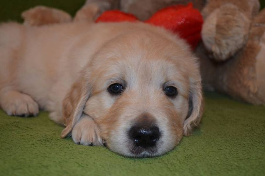 Golden Retriever puppies – available boys