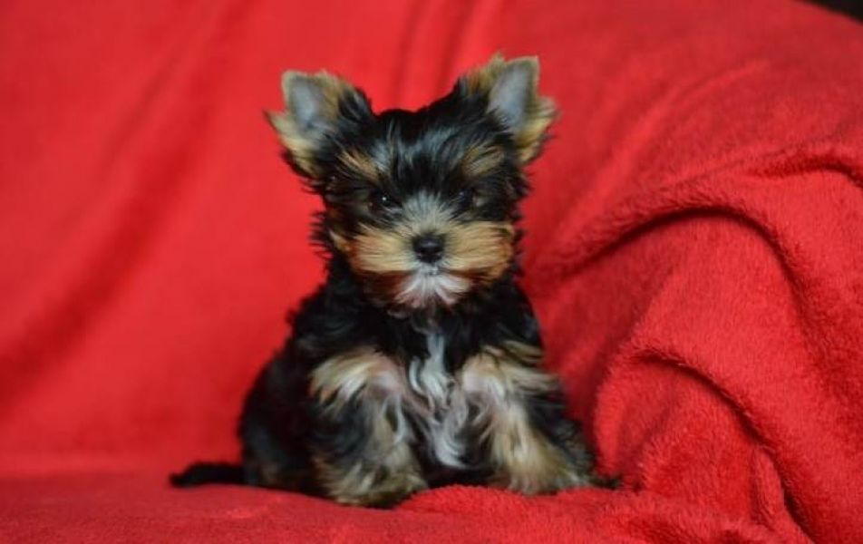 Two tiny teacup  Yorkie puppies