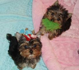 Healthy Well Trained Teacup Yorkie Puppies Available (jenifermews@yahoo.com)
