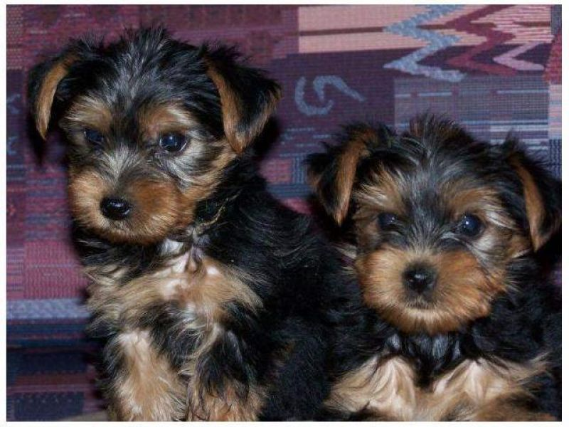 Two Adorable Teacup Yorkie puppies Text To (609) 807-2598