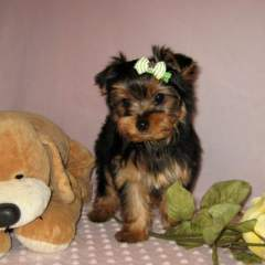 Beautiful Champion Yorkie Puppies For Free Adoption
