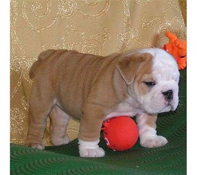 Adorable English Bulldog puppies