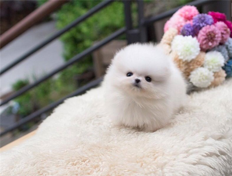 Purebred Pomeranian Puppies Available (313) 482-9956