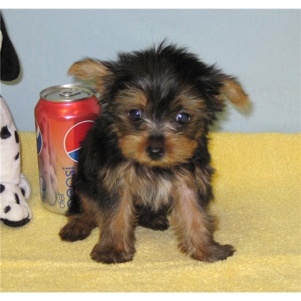 Sweet Teacup Yorkie Puppies For Adoption