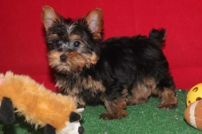 Top Quality Teacup Yorkie Puppies For Free Adoption.