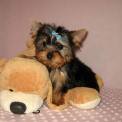 Lovely T-cup yorkie puppies for Adoption