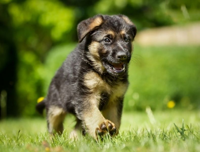 Active German shepherd puppies