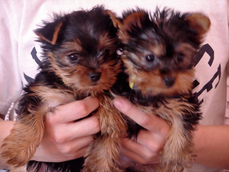 Male and female yorkies for sale