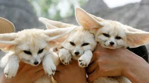 Fennec fox and cheetah for sale