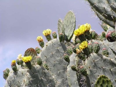 Prickly pear seed Oil Naturosources