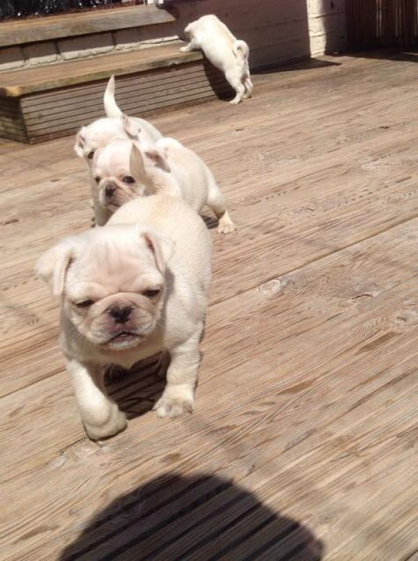 Sweet pug puppies for new homes