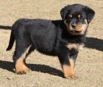 We Have  Beautiful Litter  Rottweiler Puppies  Ready Now To Go