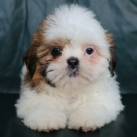 Lovely Shih tzu Puppies