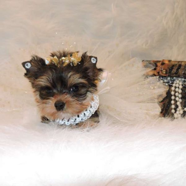 Gorgeous Male and Female Teacup Yorkie Puppies For Rehoming