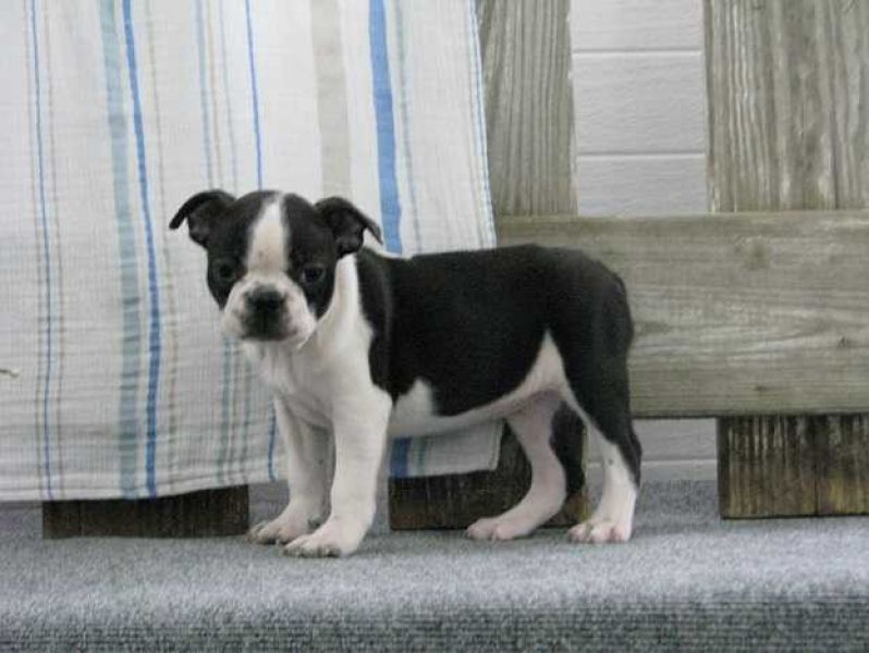 Boston Terrier Puppies (CKC Reg'd)