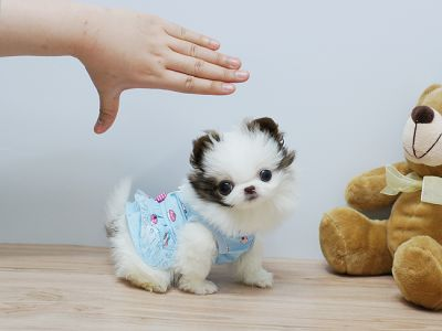 Cute and Adorable AKC Pomeranian Puppies for free Adoption