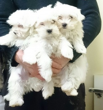 Magnificent Maltese.....(1 Female/1 Male).