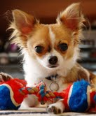 Cute chihuahua puppies for your home