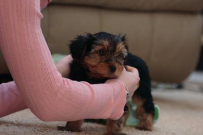 GORGEOUS YORKIE PUPPIES FOR ADOPTION(powell_nickson30@yahoo.com