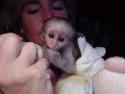 Tamed lovey capuchin monkeys for adoption to good homes