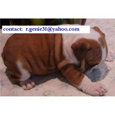Beautiful English Bulldog puppies available (r.genie31@yahoo.com)