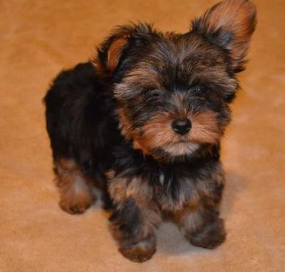 Registered micccro vaccinated Yorkshire Terrier loooking for new home