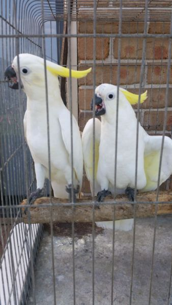 Hand fed, tamed, trained babies and adults parrots and fertilized eggs for sale
