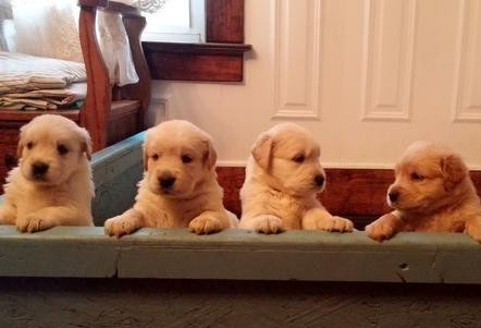 KC registered Golden Retriever puppies