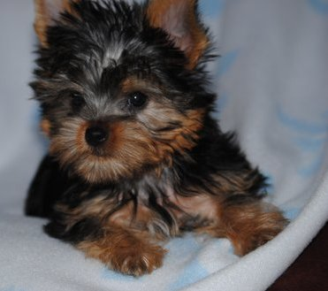 Lovely Teacup Yorkie Puppies Text : 6122134633