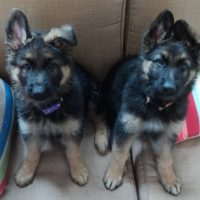 Smart German shepherd puppies