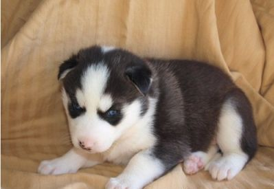 cute siberian husky puppies for adoption