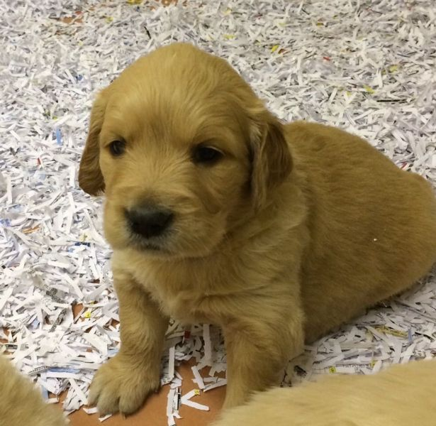 300$Beautiful Golden Retriever For Sale. (304) 249-8561